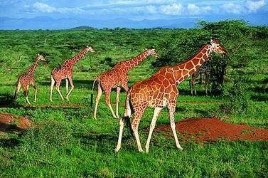 com-非洲动物大迁徙催热摄影游