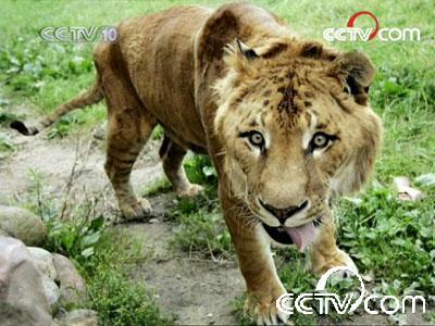 两种最厉害的猫科动物本来在自然界很难相遇